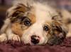 Sleepy Puppy (Chris Willis 10) Tags: puppy sony star dog pets cute animal canine purebreddog small domesticanimals mammal younganimal looking brown lyingdown friendship portrait fur oneanimal nopeople closeup sleepy