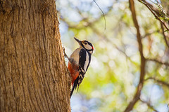 spotted woodpecker (*ALLA*) Tags: