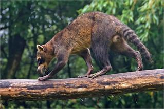 South American raccoon