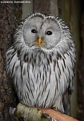 Ural owl - Zoo Veldhoven (Mandenno photography) Tags: animal animals zoo bird birds owl owls ural veldhoven ngc nederland netherlands nature dierenpark dierentuin dieren