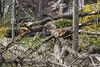 Felled tree on High Park Gardens, May 4 2018 windstorm (jer1961) Tags: toronto wind windstorm torontowindstorm felledtree tree downedtree highpark