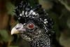 Crax fasciolata _ Hocco faccianuda (Prilla 4.0) Tags: hoccofaccianuda craxfasciolata birds uccello canonsx540 canon redeyes occhi rossi
