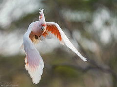 Major Mitchell's Cockatoo's Lophochroa leadbeateri Cacatuidae (Mykel46) Tags: bif birds nature wildlife sony a7r3 a7r111 100400mm flight