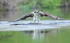 Osprey 5_7 1 (krisinct- Thanks for 15 Million views!) Tags: osprey gerry22
