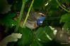 Bluethroat (Jongejan) Tags: bluethroat blauwborst bird vogel nature wildlife outdoor leafs
