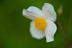 シラユキゲシ Snow poppy (takapata) Tags: sony sel90m28g ilce7m2 macro nature flower