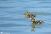 Les traînards du gang de canetons :-) (jean-daniel david) Tags: oiseau oiseaudeau réservenaturelle lac lacdeneuchâtel yverdonlesbains nature canard colvert caneton eau duo reflet