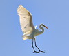 Decending From the Heavens (Darts5) Tags: greategret greatwhiteheron greatheron greategrets bird birds bif animal nature 7d2 7dmarkll 7dmarkii 7d2canon ef100400mmlll canon7d2 canon7dmarkii canon7dmarkll canon canonef100400mmlii