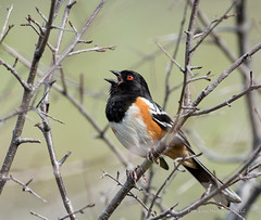 Spotted Towhee (Boulder Flying Circus Birders) Tags: spottedtowhee pipilomaculatus spottedtowheecolorado spottedtowheeboulder wildbirdboulder wildbirdcolorado wildbirdcompany formerwildbirdcenter notwildbirdsunlimited birdseed birdwalk saturdaymorningbirders skunkcanyon cityofboulderopenspaceandmountainparks colorado boulder kevinrutherford fernlakephotography