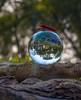 A life in an inverted world (ibtihajtafheem) Tags: lensball lensballphotography crystalball crystalballphotography reflection reflections insects insect