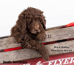 Hershey - Doodle Sweethearts photo - 02 (JD and Beastlet) Tags: