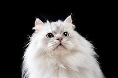 台北寵物攝影 到府拍攝 形象照 金吉拉 (cold0328) Tags: portrait 金吉拉 波斯貓 寵物攝影 寵物寫真 貓咪攝影 貓咪寫真 寵物攝影服務 台北寵物攝影 寵物攝影師 cat cats catsofinstagram catlovers catgram catsagram catlove pets pet petsagram catsphotography petsphotography catsphoto petsphoto taipei taiwan