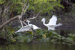 Snowy Egrets (DFChurch) Tags: sixmilecypressslough fortmyers florida egrettathula snowy egret bird white animal wild wildlife nature
