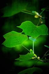 Leafs .. (Julie Greg) Tags: leaf nature colours canon5dmarkiv tree texture details green park