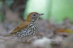 Wood Thrush (Alan Gutsell) Tags: birds texasbirds texas alan nature wildlife migration spring gulfcoast wood thrush woodthrush songbird