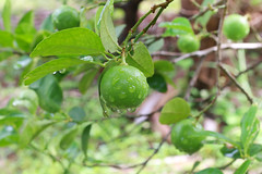 Fresh lime on the tree (GStudio88) Tags: lime lemon limegreen foodhealthy eating chopped ripe tropical climate slice taste color isolated cross section citrus fruit vegetable scented cutting groupobjects people refreshment shiny peel colors closeup dieting sweet food vitamin backgrounds vibrantly size freshness vegetarian