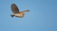 Barn Owl (wildwalker3) Tags: barnowl owl forestofbowland birdofprey raptor