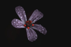Red Robin (nyanc) Tags: redrobin herbrobert geranium geraniumrobertianum flower macromondays macro bloem lowkey closeup d5200 europe europa flickr limburg lente nikon netherlands nature nederland natuur outdoor prime spring