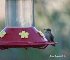 Broad-tailed Hummingbird (ironekilz) Tags: chatfieldstatepark audubon nature center littleton co