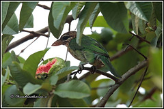 7869 - white browed barbet (chandrasekaran a 49 lakhs views Thanks to all.) Tags: whitebrowedbarbet birds nature india wayanad kerala guava fruits canoneos6dmarkii tamronsp150600mmg2
