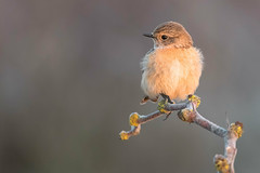stonechat (leonardo manetti) Tags: uccello bird nature red winter colours naturephotography field natural nikkor countryside green morning black stonechat albero animale d810 nikon dawn sunrise