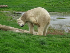 Bear with an itchy leg (LadyRaptor) Tags: yorkshirewildlifepark yorkshire wildlife park doncaster ywp nature outdoors spring time springtime warm sunny grass log logs water lake pool pond ripples reflection walk walking stroll strolling patrolling itch itching itchy scratch scratching paw chilling relaxing relaxed happy content cute animal animals predator carnivore caniformia ursidae polarbear polarbears male polar bear bears ursusmaritimus projectpolar nobby