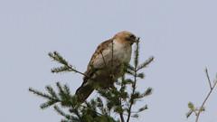 Red-shouldered Hawk-Kingston-5-16-18 (McDonaldMorgans) Tags: birding redshoulderedhawk greenheron greateryellowlegs brantrock kingston