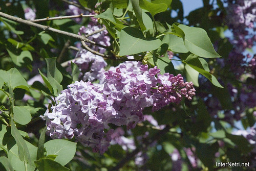 Сад бузків Ботанічний сад імені Гришка InterNetri  Ukraine 17