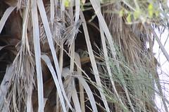 Barn Owl (Tyto alba) (Camden S. Bruner) Tags: barnowl tytoalba imperialcounty ca california sonnybonosaltonsea nationalwildliferefuge unitedstatesfishandwildlifeservice saltonsea bird
