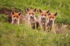 Four in a Row (dickvduijn) Tags: fox redfox cubs cub wildlife nature animal animals ngc