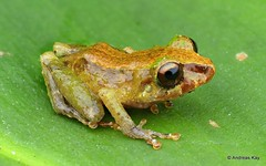 Rainfrog, Pristimantis sp. (Ecuador Megadiverso) Tags: amazon amphibian andreaskay cordilleradelcóndor craugastoridae ecuador elquimi focusstack frog pristimantissp