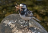 DSC3220  Pied Wagtail... (jefflack Wildlife&Nature) Tags: piedwagtail wagtail wagtails birds avian animal animals songbirds countryside coastalbirds farmland moorland marshland nature