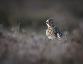 Skylark in the heather