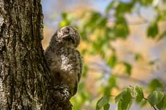 Nodding Off! (NicoleW0000) Tags: barredowl owlet bird cute woods forest springtime ontario canada owl wildlife wild outdoors