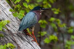 G Heron - 052018 (r.rybicki) Tags: baypoint bird greenheron