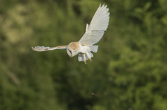Barn Owl - Do I 'fancy' a Dragonfly snack? (Ann and Chris) Tags: avian amazing awesome barnowl bird flying gorgeous hunting hovering hunt incredible impressive owl dragonfly stunning unusual wild wings