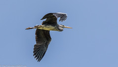 9Q6A3184 (2) (Alinbidford) Tags: alancurtis alinbidford brandonmarsh greyheron nature wildbirds wildlife