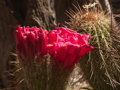 Partly open Trichocereus blooms in the Cactus & Succulent Gardens, Tucson Botanical Gardens (Distraction Limited) Tags: trichocereushybrid trichocereus echinopsis cactus flowers flowerbuds buds cafébotanica cactusandsucculentgardens cactussucculentgardens tucsonbotanicalgardens tucsonbotanical botanicalgardens gardens tucson arizona tbg20180514