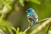 Lazuli Bunting (JohnReynolds2012) Tags: 2018 vancouver bc wildlife bird inaturalist animals birds canada coquitlam britishcolumbia ca