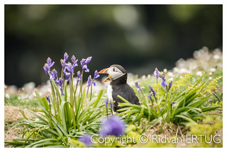 Stood among Bluebell flowers at the Wick - Atlantic Puffin /  Fratercula arctica   / Taken at the coast of Skomer Island, Pembrokeshire, Wales, UK