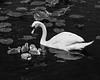 Motherhood (Wilco1954) Tags: kewgarden lilies london mono motherhood swan cygnet