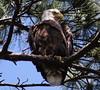American bald eagle (im2fast4u2c) Tags: nature raptor bird animalwildlife americanbaldeagle