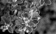 .. (wNG555) Tags: 2016 arizona phoenix flora ricohxrrikenon28mmf28 bw fav25 fav50