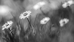 fleur 5 (stephanelaunay21) Tags: noir et blanc