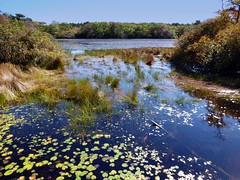 (mahler9) Tags: october 2014 jaym blackwaterpond pond waterlily autumn fall capecod provincelands newengland