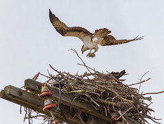 Bringing Home Some Fish (John Kocijanski) Tags: odc nest osprey bird birdofprey raptor wildlife nature animals canon7d canon70300mmllens