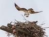 Bringing Home Some Fish (John Kocijanski) Tags: odc nest osprey bird birdofprey raptor wildlife nature animals canon7d canon70300mmllens