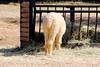 Alpaga mange (ZUHMHA) Tags: labarben zoo zoodelabarben france nature animal mouton alpaga laine