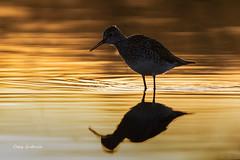 Lesser Yellowlegs (clayguthrie13) Tags: rrpa0418 bird shorebeird yellowlegs lesser wildlife sunrise morning glow colors water