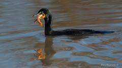 Cormorant eats catfish (Earl Reinink) Tags: bird animal waterfowl cormorant fish catfish earlreinink water